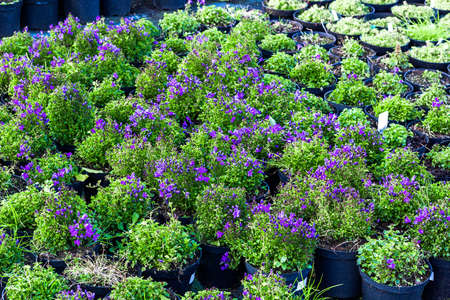 Purple Campanula flowers growing in pots. Lot of Bellflower potted plants selling in garden center, top view