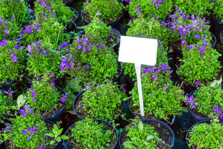 Purple Campanula flowers growing in pots. Lot of Bellflower potted plant selling in garden center, top view Фото со стока