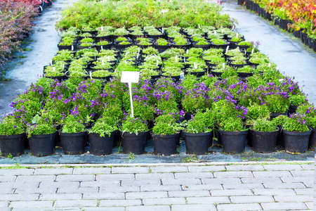 Purple Campanula flowers growing in pots. Lot of Bellflower potted plant selling in garden center