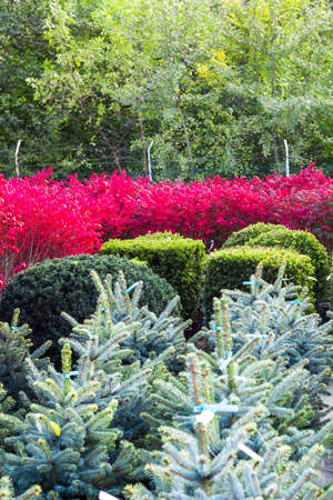 Various bushes and trees in flower pots sold in garden center. Lot of fir, spruce, taxus potted tree, pink winged euonymus bush selling in shop. Summer landscape with colorful ornamental garden, plants in rows