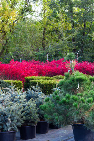 Various bushes and trees sold in garden center. Lot of fir, spruce, taxus tree, pink winged euonymus bush selling in shop. Summer landscape with colorful ornamental garden