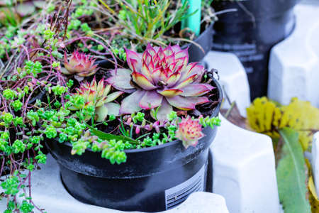 Sempervivum green plants in flower pots. Common Houseleeks or liveforever flowers growing in flowerpots. Potted succulents selling in garden center