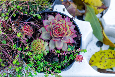 Sempervivum green plants in flower pots. Common Houseleeks or liveforever flowers growing in flowerpots. Potted succulents selling in garden center, top view