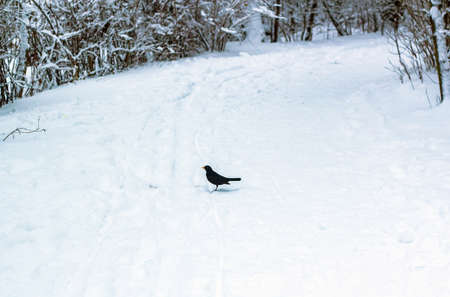 Snow covered road with small black bird in winter woodland. Dusk in forest and blackbird silhouette in distance Фото со стока