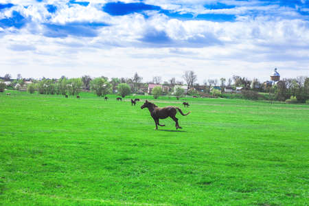 Spring rural pastoral landscape and herd of horses on green meadow. Running horse in spring fields, springtime in village