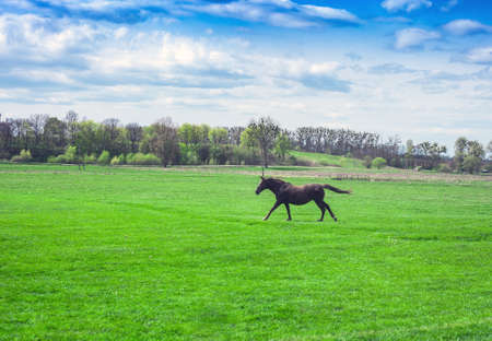 Spring rural pastoral landscape and brown horse on green meadow. Running horse in spring fields, springtime in village