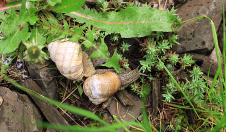 Mating of garden snails, scene of small wild life Фото со стока - 126754809