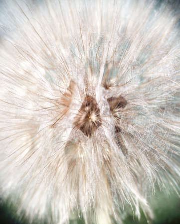 Blurry background with white fluffy dandelion. Abstract white flower seeds, light softness natural texture. Floral pattern with blowball head, soft focus Фото со стока - 126754835