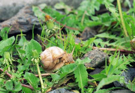Garden snail crawling. Helix pomatia in spring garden, scene of small wild life