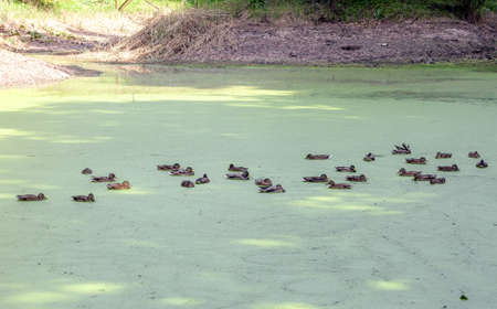 Lake covered with green duckweeds and flock of Mallard ducks swimming in distance Stock Photo