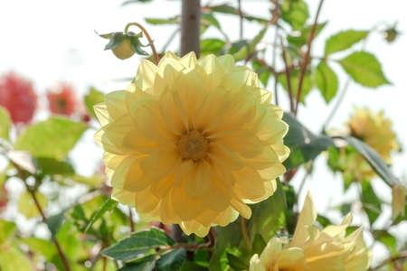 Yellow Dahlia flower growing in summer garden, sunny light day Фото со стока - 126758768