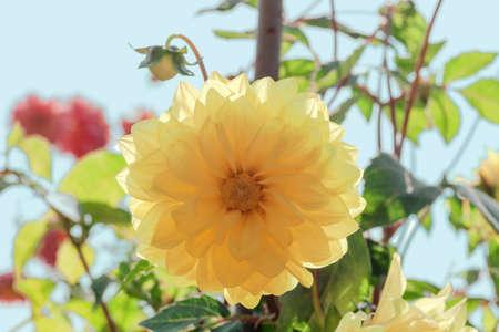 Yellow Dahlia flower growing in summer garden, sunny light day
