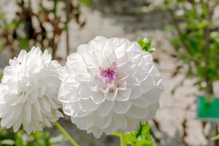 White Giant ball Dahlia Boom Boom flower growing in summer garden Фото со стока - 126758785