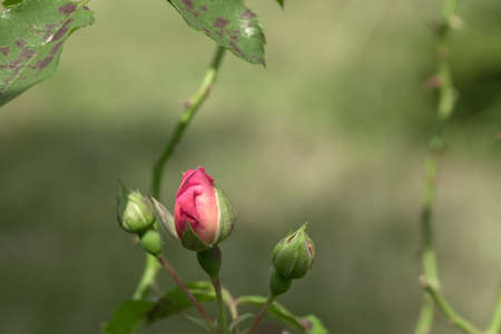 Pink small rose bud growing in summer garden on green blurred background, sun light day