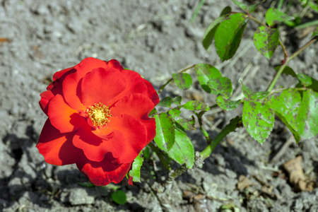 Red rose growing in summer garden, top view. Diseases leaves spot Cercospora on plant Фото со стока - 126758800