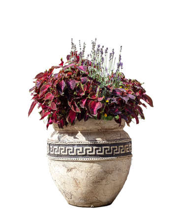 Large old ceramic vase with different flowers, vintage style. Big pot with red coleus plant shrub and purple lavender. Greek amphora with growing floral bouquet isolated on white background Фото со стока - 126758804