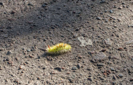 Yellow fluffy caterpillar Pale tussock moth crawling along road. Calliteara pudibunda on ground, hairs cause allergic reaction in form of painful rash