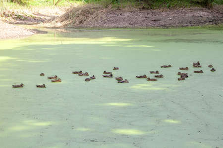 Lake covered with green duckweeds and flock of Mallard ducks swimming in distance Фото со стока