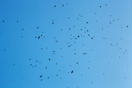 Lot of birds black silhouettes flying in blue sky. Flock of crows fly, freedom concept, horror halloween landscape. Animal terror Фото со стока - 126755608