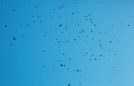 Lot of birds black silhouettes flying in blue sky. Flock of crows fly, freedom concept, horror halloween landscape. Animal terror
