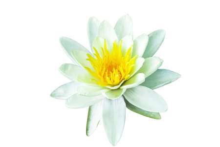 White Water lily isolated on white background. Nymphaea flower cutout Фото со стока - 126766995