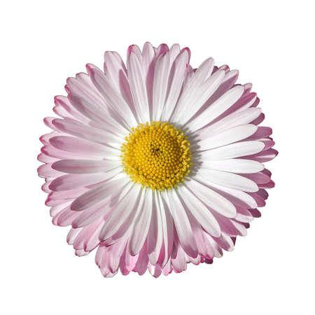 Margherita rosa isolata su fondo bianco. Bellis perennis piccolo fiore selvatico, vista dall'alto
