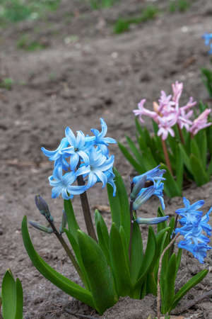 Colorful Hyacinth flowers growing in spring garden. Beauty pink and blue Hyacinthus growth on flowerbed