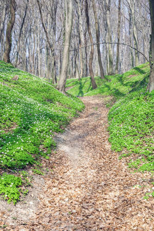 Spring landscape with forest footpath and growing carpet of white wild flowers wood anemone. Anemone nemorosa small flowering plants and road path in beech woods