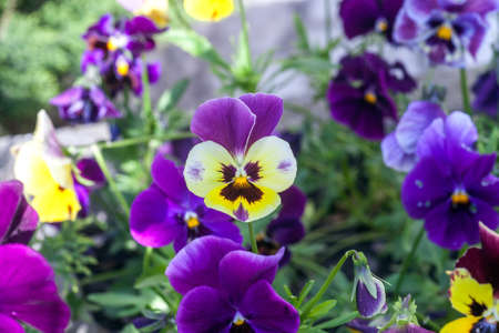 Purple Pansies flowers growing in spring garden. Colorful Viola tricolor blooming