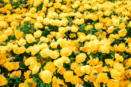 Yellow Pansies growing in spring garden. Bright Viola tricolor blooming. Beautiful flowers field, colorful floral background Zdjęcie Seryjne