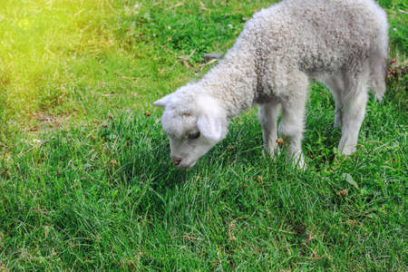 Sweet little white lamb grazing on green pasture, sunny day at farm