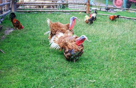 Pair of turkeys on green pasture. Domestic birds on lawn at farm