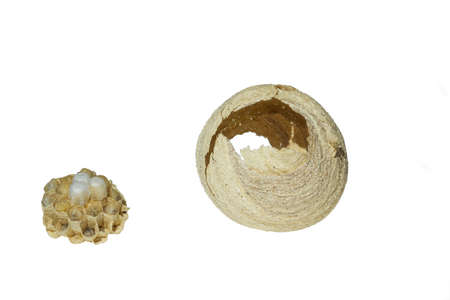 Hornets nest with eggs isolated on white background. Wasp insects larvae cut out