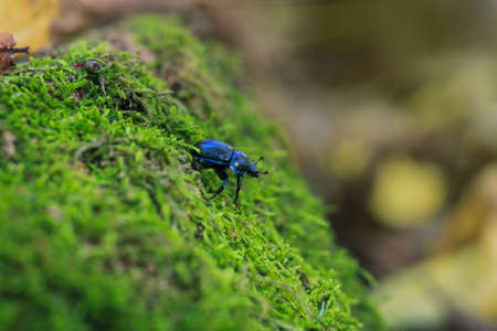Blue metallic earth-boring dung beetle in green moss. Anoplotrupes stercorosus bug in summer forest, selective focus