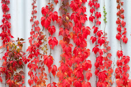 Red leaves Parthenocissus plants climbing on wall. Colorful autumn Virginia Creeper leaf floral texture