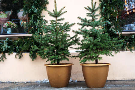 Christmas trees growing in pots near house wall. Potted evergreen small fir at city street, holidays decor