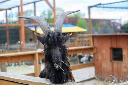 Ritratto di capra cornuta nera che mastica fieno in fattoria, fuoco selettivo