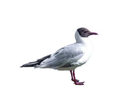 Black-headed gull isolated on white background. Chroicocephalus ridibundus bird cut out 写真素材