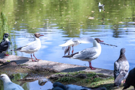 Flock of pigeons and Black-headed gulls near pond in spring city park