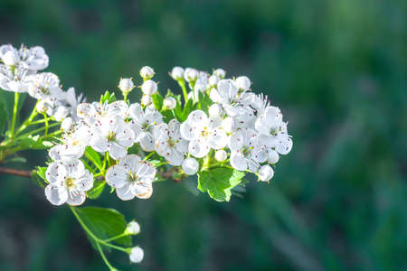 Branch of white flowers on blooming Crataegus monogyna. Blossom hawthorn flowering tree on green background