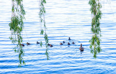 Wild Mallard duck with little ducklings swims in lake. Family of Anas platyrhynchos birds swimming
