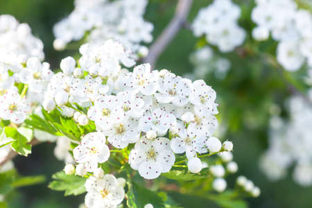 Branch of white flowers on blooming Crataegus monogyna. Blossom hawthorn flowering tree