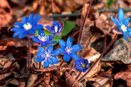 Blue small Hepatica flowers. Liverwort violet wildflowers growing in spring forest