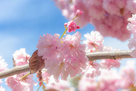 Close up pink flower on blooming sakura. Blossom cherry tree by blue sky
