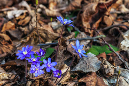 Purple small Hepatica flowers. Liverwort violet wildflowers growing in spring forest
