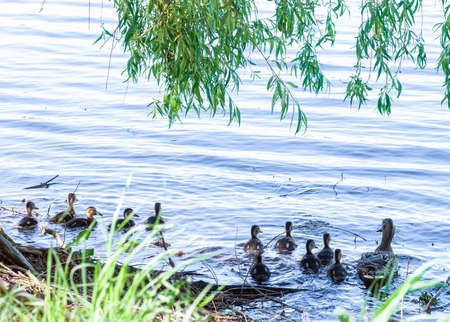 Wild Mallard duck with little ducklings swims in lake. Family of Anas platyrhynchos birds swimming near shore