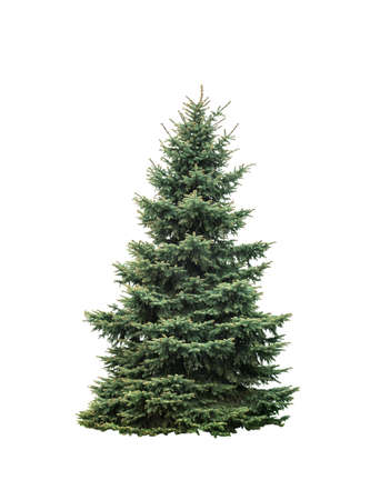 Big green fir tree isolated on white background. Tall natural christmas tree cut out
