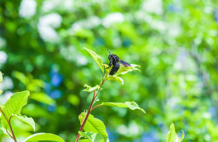 Violet carpenter bee sitting on tip of tree branch. Xylocopa violacea black insect