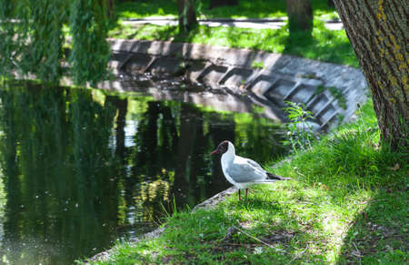 Black-headed gull on banks of pond in spring city park. Chroicocephalus ridibundus bird near lake