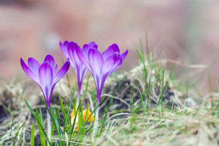 Purple crocuses growing in springtime garden. Crocus flowers in early spring